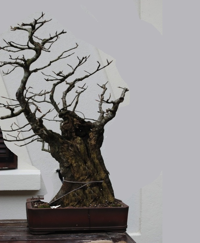 petite souche de h tre les chuhin et autres grands bonsa forums parlons bonsai. Black Bedroom Furniture Sets. Home Design Ideas