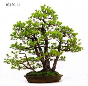 MAILLOT BONSAI_1.JPG