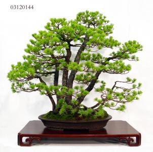 MAILLOT BONSAI_2.JPG