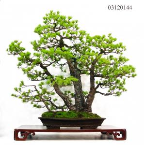 MAILLOT BONSAI_4.JPG