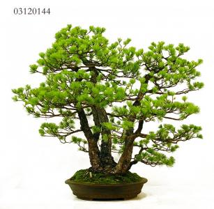 MAILLOT BONSAI_3.JPG