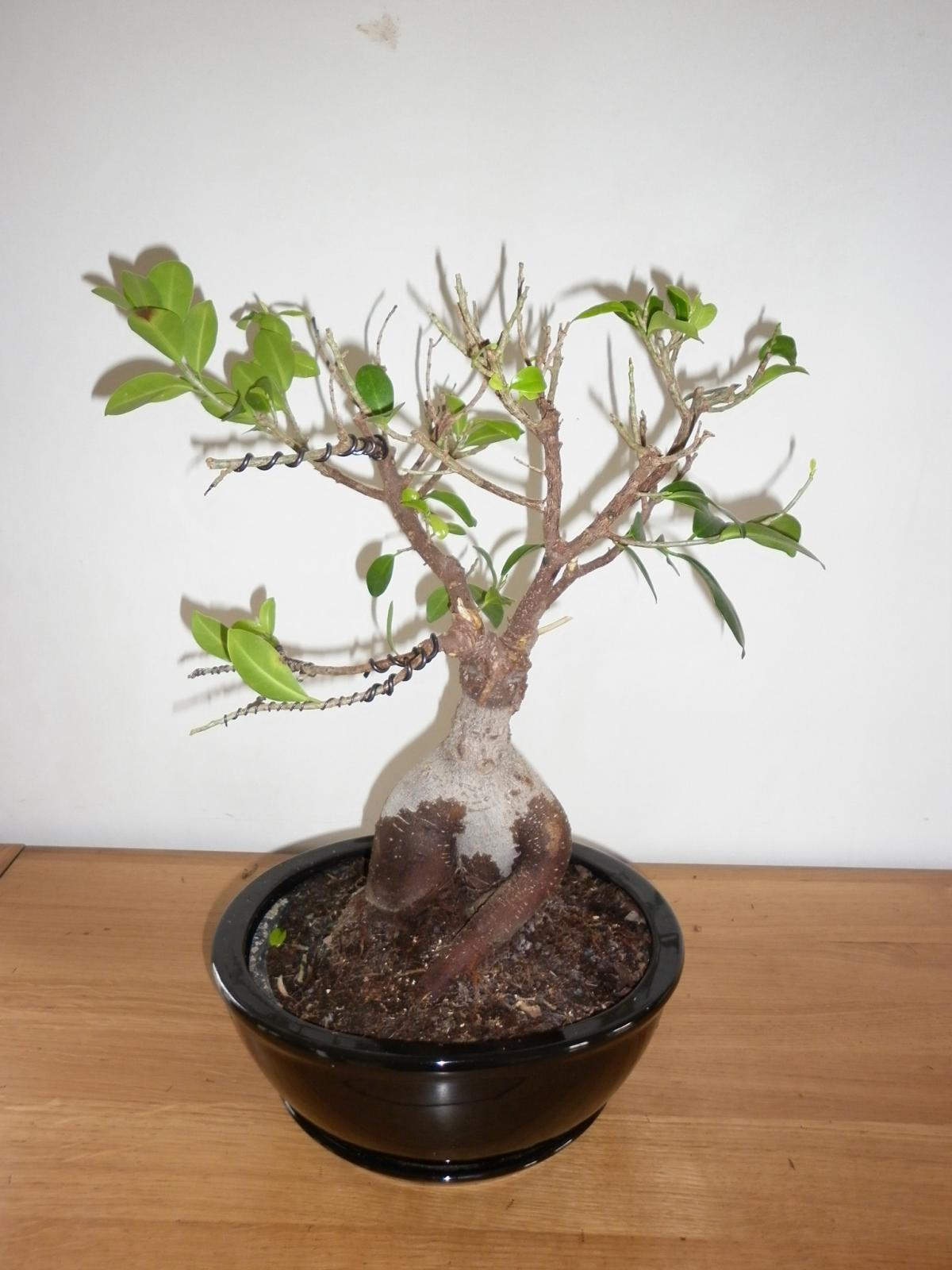 demande conseils mise en forme ficus ginseng mon bonsai ne va pas bien forums parlons bonsai. Black Bedroom Furniture Sets. Home Design Ideas