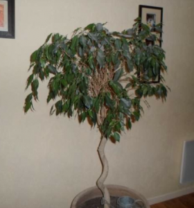 azificus.png