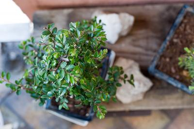 bonsai-odc-debourrement-1.jpg