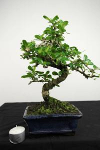 bonsai-arbre-th-carmona-macrophylla-no-3615.jpg