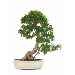 bonsai-ligustrum-indonesien-55-cm-151010-vente-de-bonsai-sankaly-bonsai.jpg