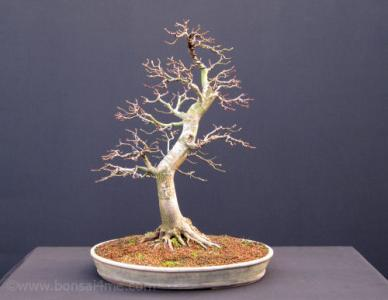acer palmatum japanese maple bonsai (1).jpg
