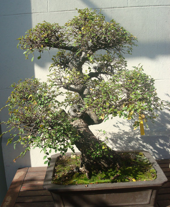 Orme de chine les chuhin et autres grands bonsa forums parlons bonsai - Orme de chine bonsai ...