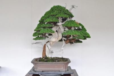 7-Shimpaku-Juniper-wired.JPG