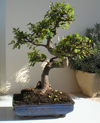 comment dessiner un arbre esth tique forums parlons bonsai. Black Bedroom Furniture Sets. Home Design Ideas