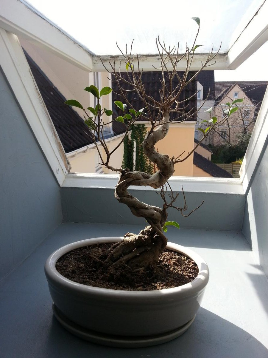 mon ficus ginseng n 39 a presque plus de feuilles mon bonsai ne va pas bien forums parlons bonsai. Black Bedroom Furniture Sets. Home Design Ideas