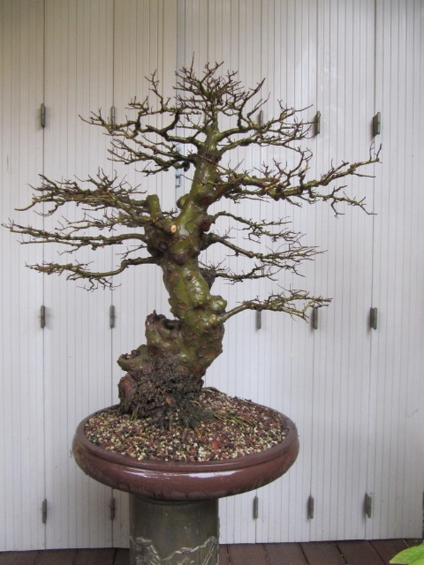 Changement de pot sur un orme de chine c ramique et poteries forums parlons bonsai - Orme de chine bonsai ...