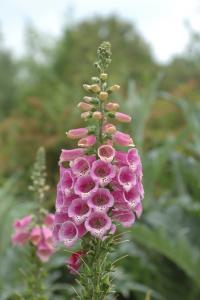 Digitalis_pupurea.jpg