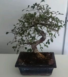 Bonsai OdC.JPG