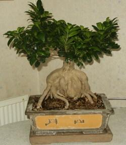 ficus ginseng page 2 le coin des shohin et mame forums parlons bonsai. Black Bedroom Furniture Sets. Home Design Ideas