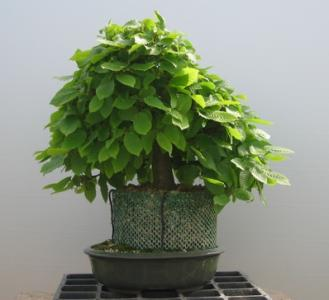 Carpinus betulus - le charme - 05.jpg