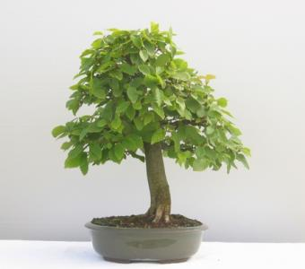 Carpinus betulus - le charme - 07.jpg