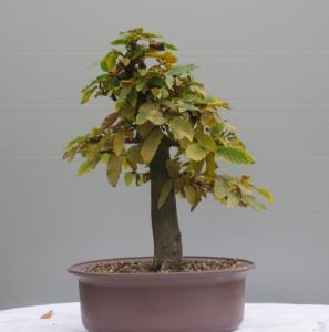 Carpinus betulus - 03.jpg.jpg