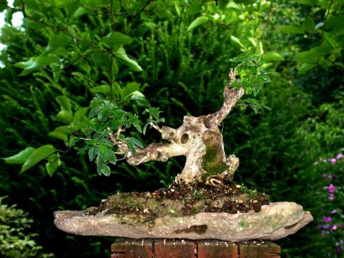 Parlons bonsai lagerstroemia indica - Lilas des indes racines ...