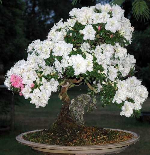 parlons bonsai rhododendron indicum. Black Bedroom Furniture Sets. Home Design Ideas